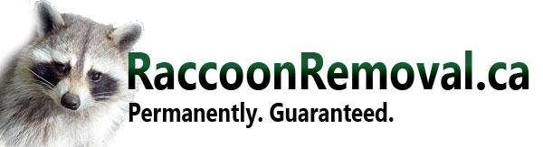 Guaranteed Raccoon Removal Mississauga, Brampton, GTA